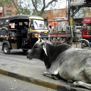 ¿por qué los hindúes adoran a las vacas?