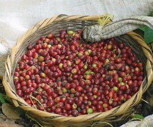 LA RUTA DEL CAFÉ EN NICARAGUA / LA RUTA DEL CAFÉ DE NICARAGUA